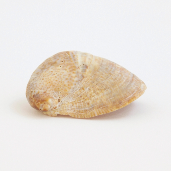 Mollusc Shell (weirdly shaped)